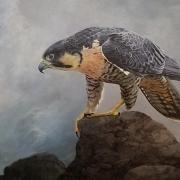 Peregrine Falcon: Queen of All She Surveys